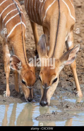 Nyala (Tragelaphus angasii), female with baby drinking, Mkhuze Game Reserve, South Africa, Africa - Stock Image