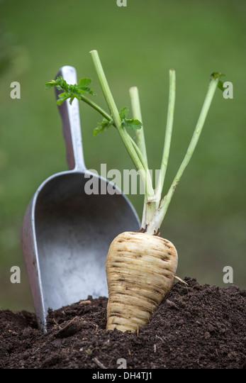 Parsnip in soil. - Stock Image