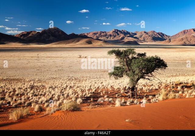 Camelthorn tree in mountainous valley. Namib Rand, Namibia. May 2010. Non-ex. - Stock Image