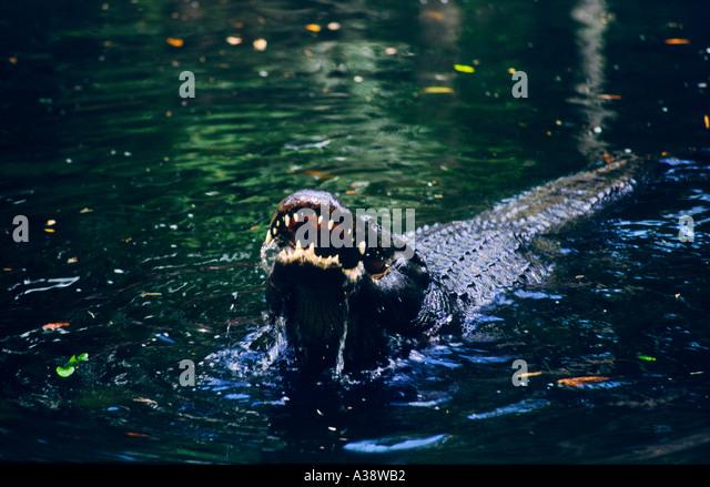 American alligator, Alligator mississippiensis, approaching in black waters of Okefenokee National Wildlife Refuge, - Stock Image