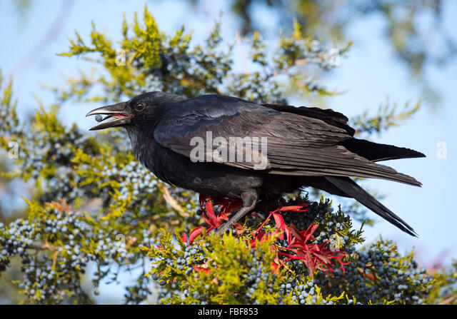 Crow Eating Berries - Stock-Bilder