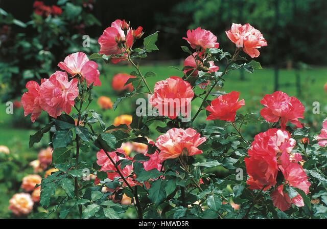 Botany - Rosaceae - Grimaldi rose (Delbard). - Stock Image