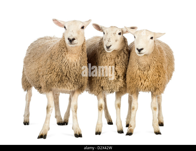 Three Sheep standing in front of white background - Stock Image