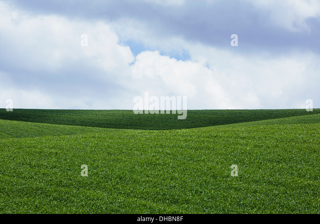 A field of lush green wheat crop growing. - Stock Image