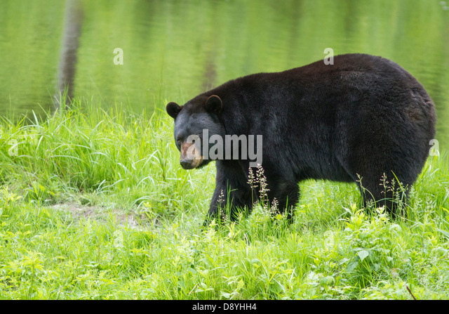 Big male black bear (Ursus Americanus) in spring. - Stock Image