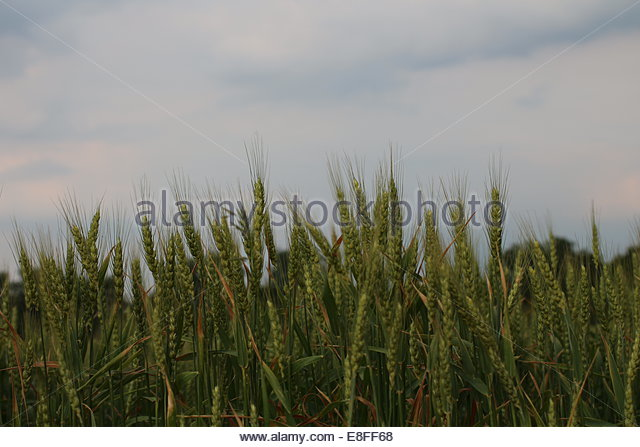 Green field of wheat - Stock Image