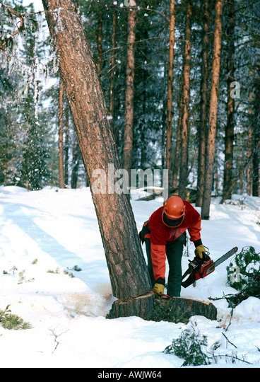 Sweden, man cutting down tree with chain saw in snow - Stock Image