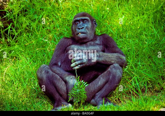 Animals nature natural wildlife Siesta in the Rainforest Gorilla nibbling on his fig leaf Belgian Congo - Stock-Bilder