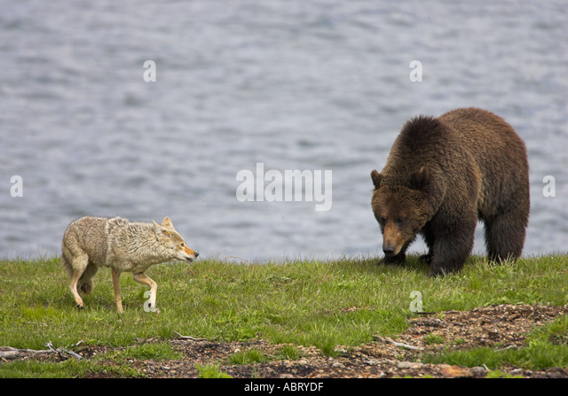 Densite Stock Photos & Densite Stock Images - Alamy Grizzly Bear 100 Meter Dash