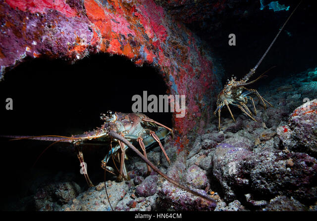 Caribbean spiny lobster on the wreck of the City of Washington - Stock-Bilder