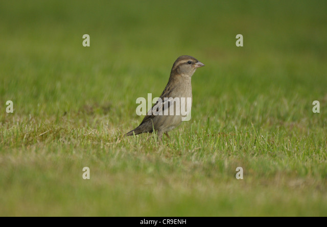 Female House Sparrow, (Passeridae) on grass, Scotland. - Stock Image