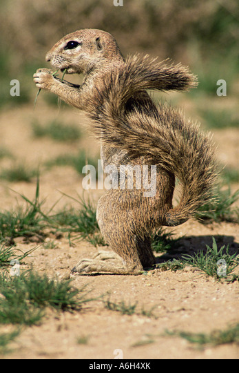 Ground squirrel - Stock Image