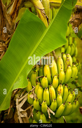 Tropical Banana tree ripe for harvesting, Fiji - Stock Image