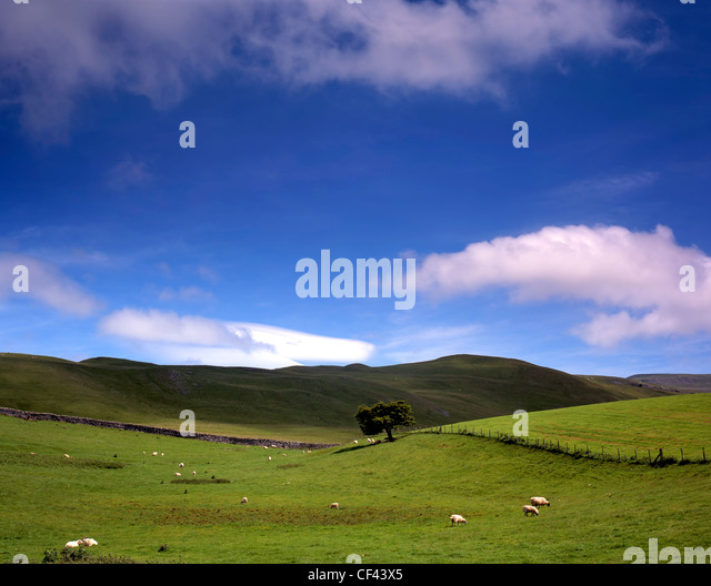 A single tree in a rolling rural landscape around Kirby Lonsdale. The hills mark the boundaries of the Lake District - Stock Image
