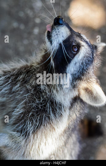 Raccoon Tail Stock Photos Amp Raccoon Tail Stock Images Alamy