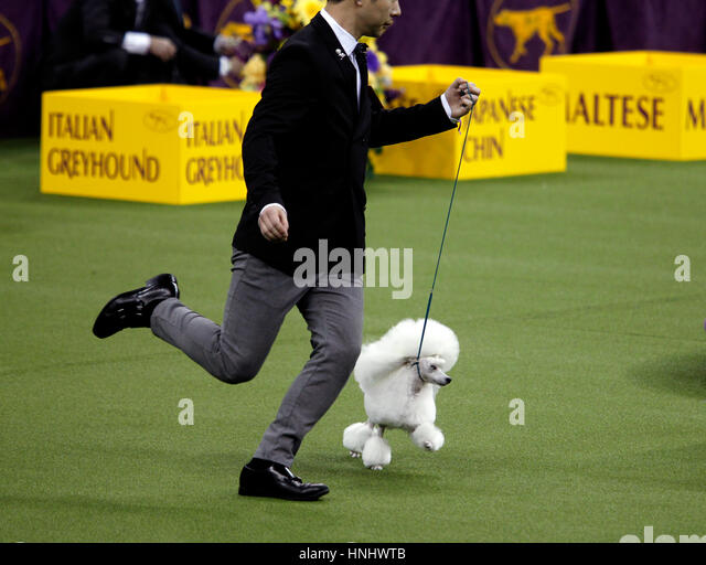 New York City, 13th February 2017. A Toy Poodle competing in the Toy Division at the 141st Annual Westminster Dog - Stock Image