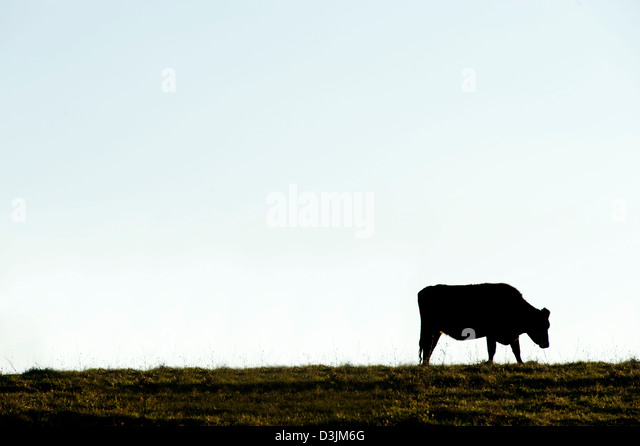 Single cow silhouetted against a light blue sky - Stock Image