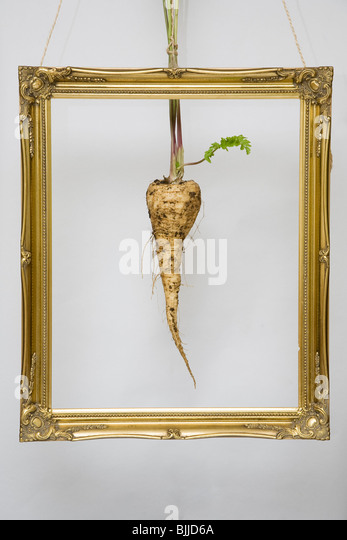 Hanging gold frame with parsnip in the center - Stock Image