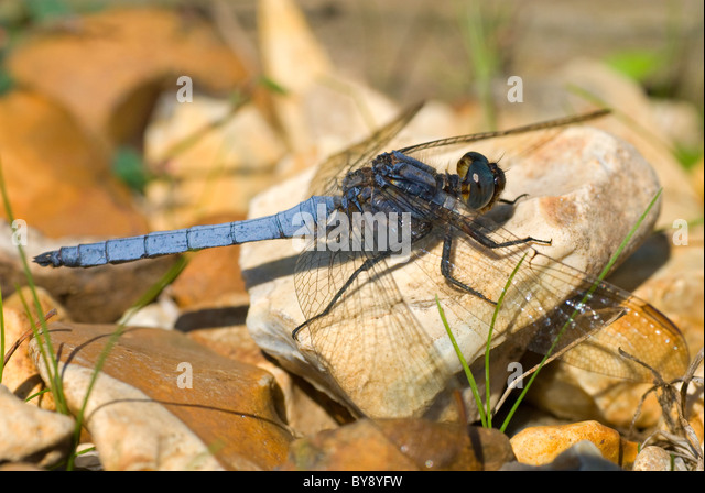 Keeled Skimmer Dragonfly - Stock Image
