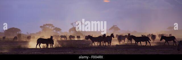 Common Zebra (Equus quagga), herd at , Amboseli National Park - Stock Image