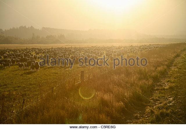 New Zealand, Flock of sheep at sunset light - Stock Image