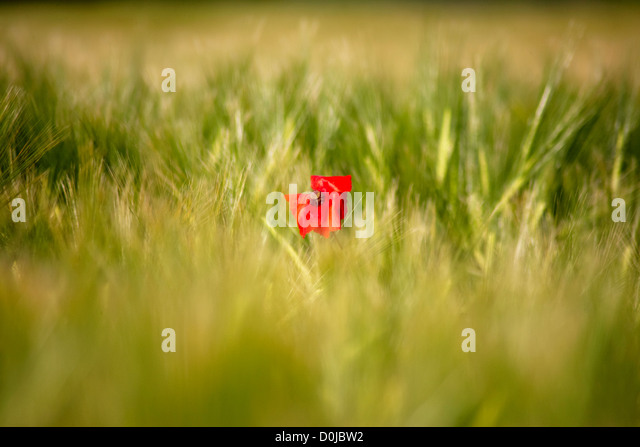 Red poppy amongst swaying barley field  in the Devonshire countryside. - Stock Image