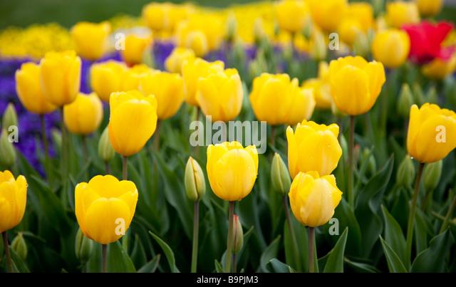 Yellow Tulip Field - Stock Image