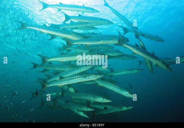 School of Blackfin Barracudas (Sphyraena qenie, aka Chevron Barracuda, Blacktail Barracuda). Raja Ampat, Indonesia - Stock Image