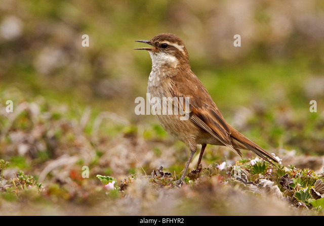 Bar-winged Cinclodes (Cinclodes fuscus) perched on paramo vegetation in the highlands of Ecuador. - Stock Image