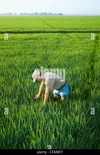 Agriculture - A farmer (grower) inspects his mid growth rice crop at the early head formation stage / Arkansas, - Stock Image