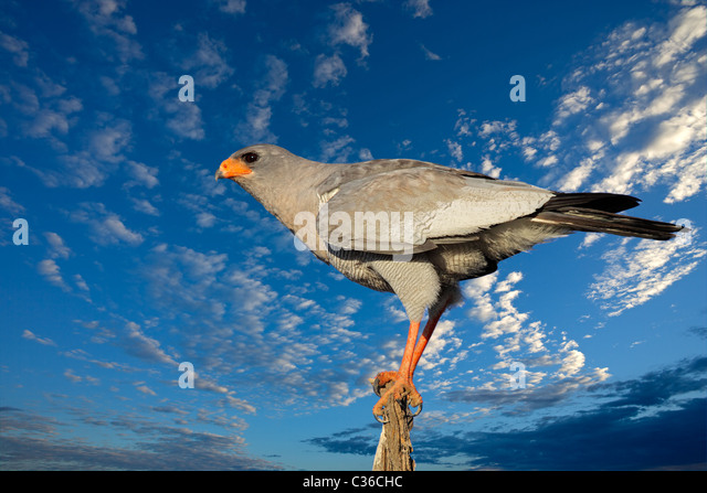 Pale Chanting goshawk (Melierax canorus) against a blue sky with clouds, South Africa - Stock-Bilder