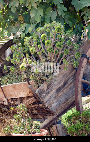 Mediterranean succulents placed artistically within an old disused agricultural cart sat under a Fig tree - Stock-Bilder