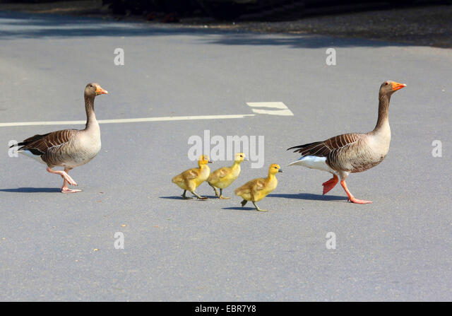 greylag goose (Anser anser), adults with chicks crossing a street, Germany - Stock Image