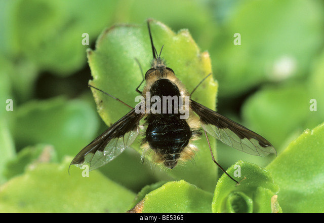 Bee fly species (Anthrax sp) - Stock Image