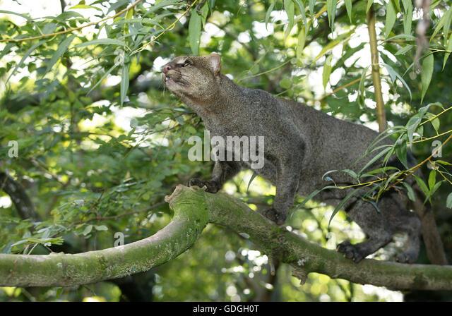 Jaguarundi, herpailurus yaguarondi - Stock Image