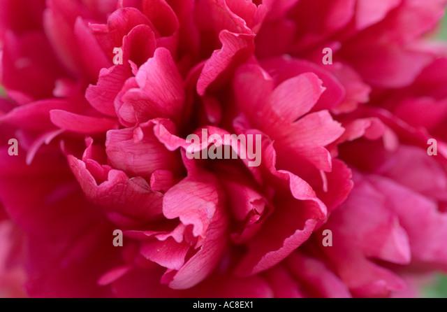 rosa glauca rose stock photos rosa glauca rose stock. Black Bedroom Furniture Sets. Home Design Ideas