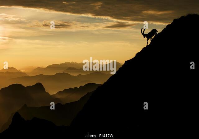Alpine ibex (Capra ibex) male on mountainside at sunrise, Bernese Alps, Switzerland, July. Received honourable mention - Stock Image