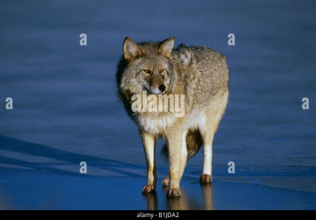 Coyote standing on a frozen  pond at the Alaska Wildlife Conservation Center near Portage. Winter in Southcentral - Stock-Bilder