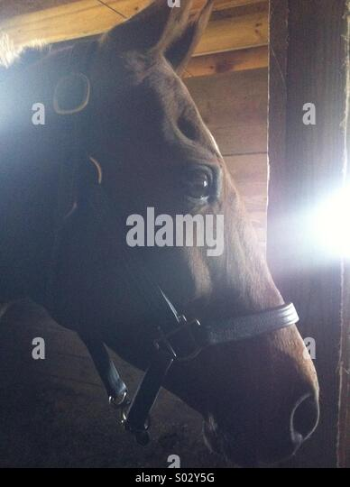Horse in stall - Stock Image