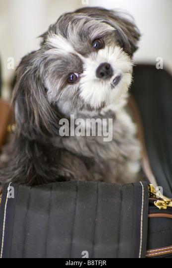 Shih tzu-Maltese dog sitting in her pet carrier travel bag - Stock-Bilder