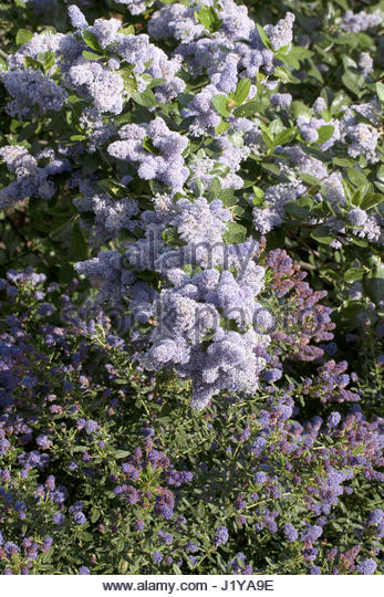 ceanothus 39 concha 39 stock photos ceanothus 39 concha 39 stock. Black Bedroom Furniture Sets. Home Design Ideas