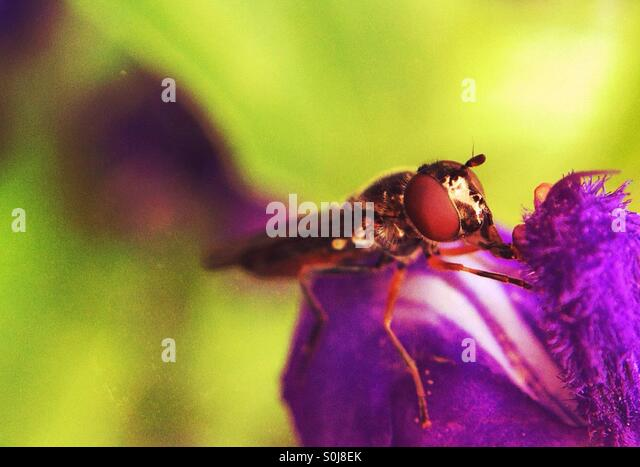 Close up of a fly on a purple flower - Stock Image