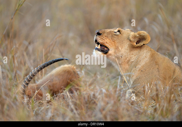 African Lion (Panthera leo) female lioness lying in the grass next to Puku kill, looking upwards, Kafue National - Stock Image