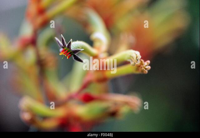 kangaroo paws (Anigozanthos manglesii), flower - Stock Image