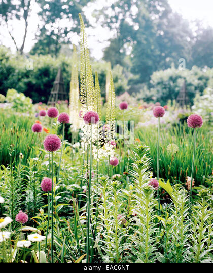 alliums in spring garden - Stock Image
