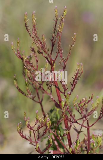 annual valerian, centranthus calcitrapae - Stock Image