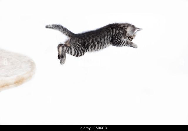 Domestic cat, kitten jumping - Stock Image