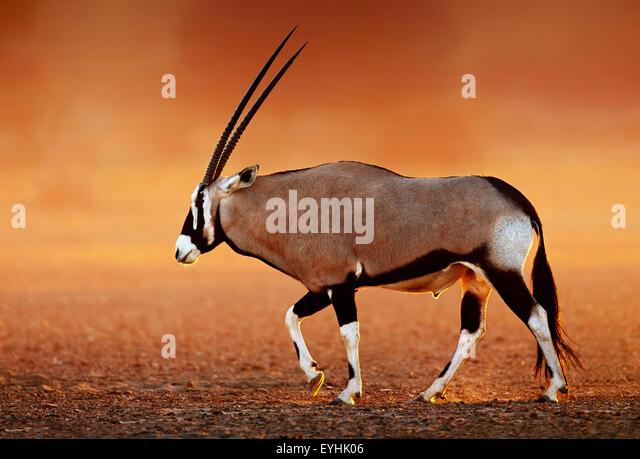 Gemsbok  ( Oryx gazella) on dusty desert plains at sunset.  Kalahari -  South Africa - Stock Image