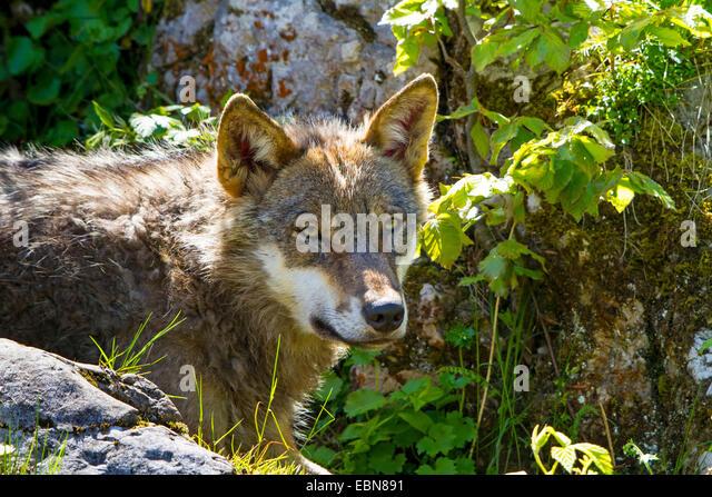 European gray wolf (Canis lupus lupus), peering behind a boulder, Switzerland - Stock Image