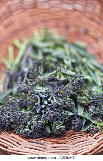 Picked early purple sprouting broccoli in a wicker basket - Stock Image